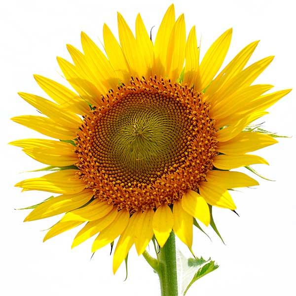 Sunflower1 Подсолнечное масло для лица