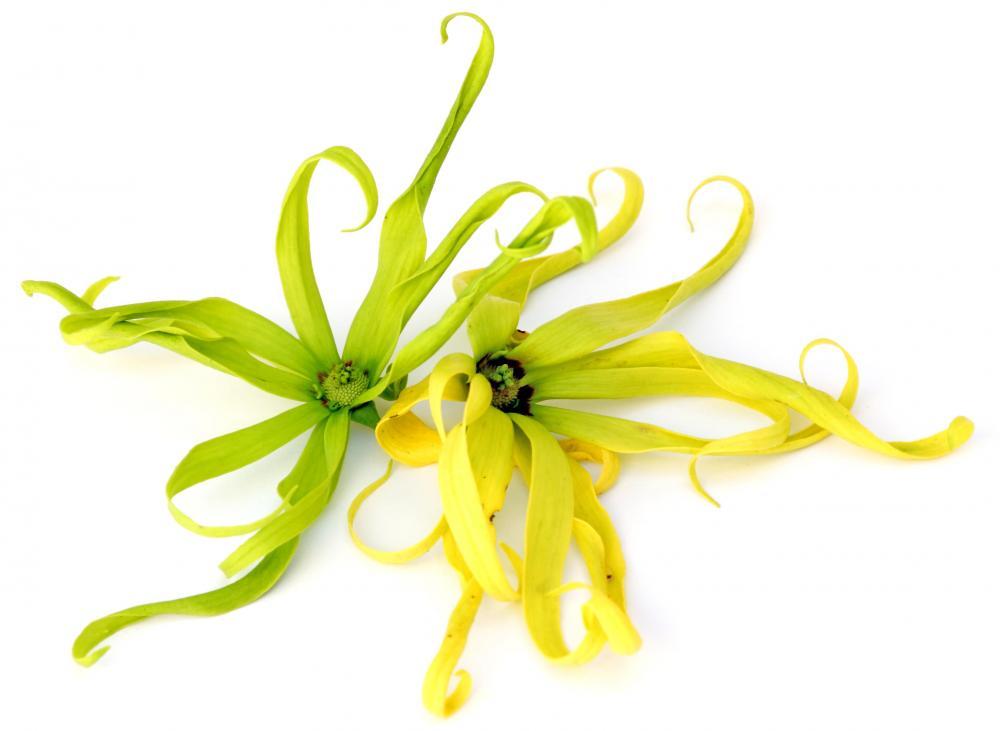Польза и вред масла иланг-иланг для здоровья человека