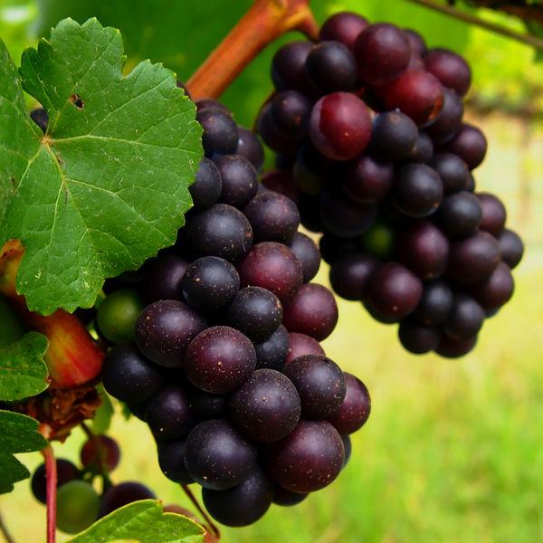 grapes Виноградное масло для лица