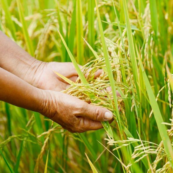 shutterstock 14.c1b84140712.w600 Масло зародышей пшеницы: применение, отзывы
