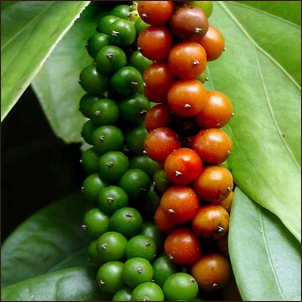 black pepper essential oil piper nigrum 002 Эфирное масло черного перца: полезные свойства и применение в косметологии
