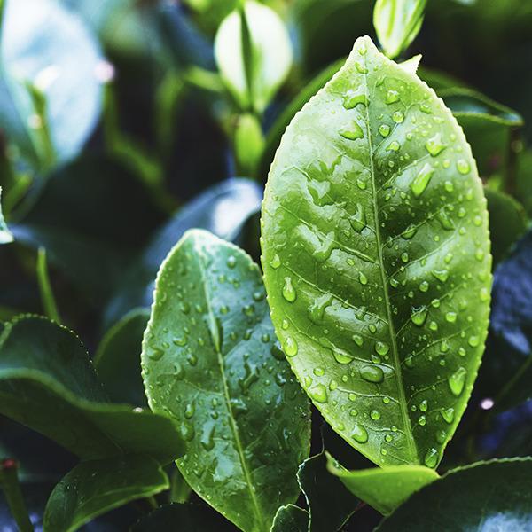 kosmetika iz tailanda 212 Масло чайного дерева: полезные свойства, применение