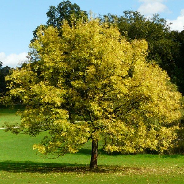 какое дерево соответствует знаку зодиака Козерог