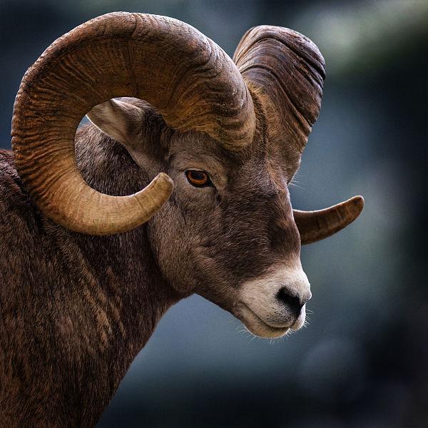 животное знака зодиака Козерог