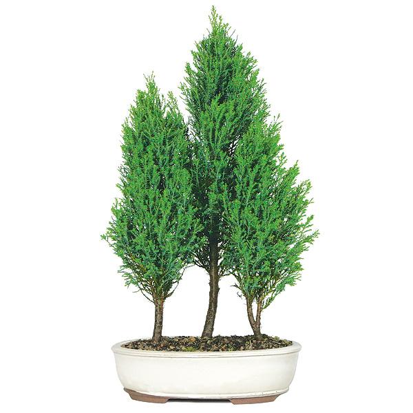 деревья и растения для знака Зодиака Лев