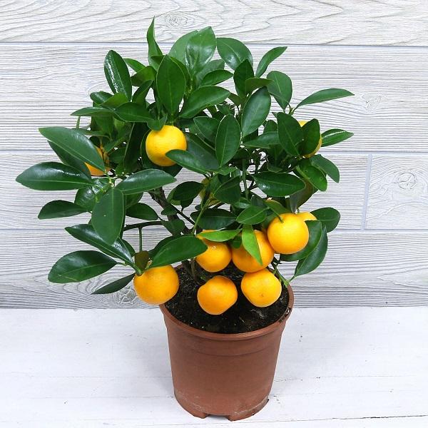 плодоносящее растение в подарок нянечке